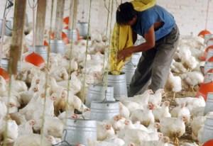 Más de 130 granjas avícolas en Táchira estarían cerradas por falta de insumos