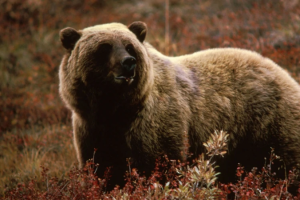 Imágenes fuertes: El video de un oso que cayó al precipicio al intentar huir de sus cazadores