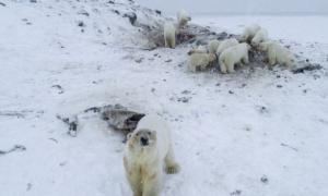 Manada de osos polares flacos y hambrientos puso en alerta a una aldea de Rusia