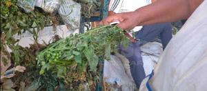 Guaros obligados a usar yerbas para curar la escabiosis