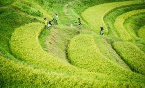El arte se apoderó de los campos de arroz en Japón con once gigantescas obras maestras (Fotos)