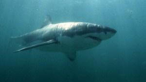Tiburón blanco mató a un adolescente de 15 años frente a sus padres y amigos