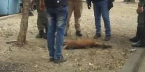 Mataron a una venada que aprovechó la cuarentena para aventurarse en Montalbán (Fotos)