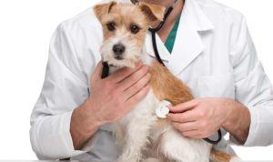Colegio de Médicos Veterinarios llama a mantener la calma e indica que el Covid-19 no afecta a mascotas