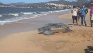 Tortuga gigante aprovechó ausencia de bañistas en playa de Carúpano para poner sus huevos (FOTOS)
