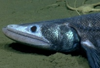 ¡Quedarás LOCO! Estudio revela que los dientes humanos evolucionaron a partir de ESTE extraño pez con mandíbula