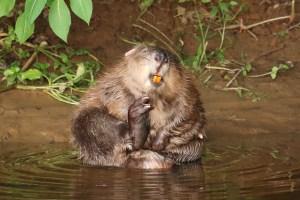 Después de 400 años, los castores pueden regresar a la naturaleza para siempre en Inglaterra (Video)