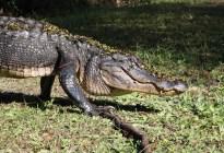 Una familia en EEUU encuentra un caimán de dos metros en su garaje de Florida