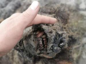 La momia de un oso de la edad de hielo perfectamente conversado emergió en Rusia (FOTOS)