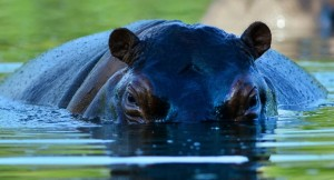 Posiciones a favor y en contra: Hipopótamos que Escobar trajo a Colombia podrían ser sacrificados