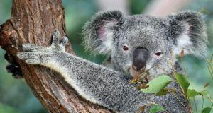 Preocupación en Australia: La población de koalas disminuye drásticamente