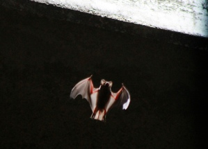 Murciélagos y los orígenes de los brotes