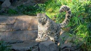 Leopardo en zoológico de California dio positivo por Covid-19