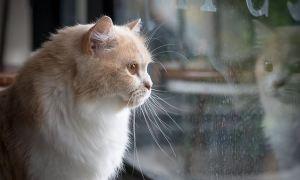 Investigadores de Minnesota revelaron que los gatos son más susceptibles al Covid-19 que los perros