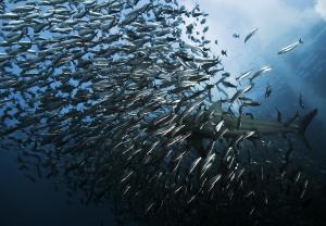"""La increíble y fascinante """"carrera de sardinas"""" en el océano Índico (FOTO)"""