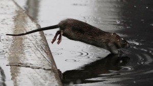 Alerta en Nueva York tras aumento récord de casos de una rara enfermedad trasmitida por ratas